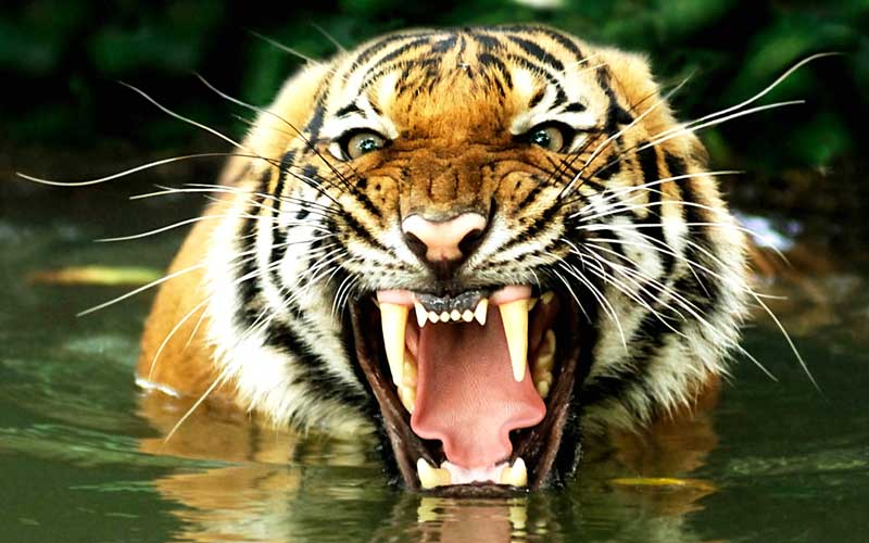 Native American Physical Characteristics >> Tigers Take Care Of Your Teeth! – Absolute Dental